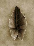 Elephant Ear Fotografisk tryk af John Kuss