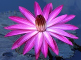 Water lily in pond Photographic Print by  Fadil