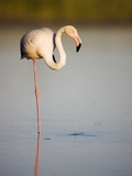 Greater flamingo in lagoon Photographic Print by Theo Allofs