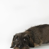 Dog lying on white background Photographic Print by Jens Lucking