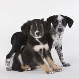 Brittany spaniel and Australian shepherd puppies Photographic Print by Michael Kloth