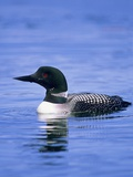 Adult Common Loon (Gavia Immer), Northern Saskatchewan, Canada Photographie par Wayne Lynch