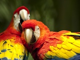 Scarlet Macaws at Zoo Ave Park, Outside San Jose Photographic Print by Paul Souders