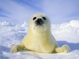 Newborn Harp Seal (Phoca Groenlandica) Pup (yellowcoat), Gulf of the St. Lawrence River, Canada. Na Fotografisk tryk af Wayne Lynch