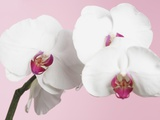 White Phalaenopsis orchids Photographic Print by Jen Nelson