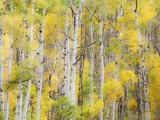 Stand of Aspens in autumn Photographic Print by Frank Lukasseck