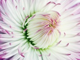 Daisy Photographic Print by Frank Krahmer