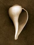 White Conch Shell Papier Photo par John Kuss