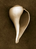 White Conch Shell Photographic Print by John Kuss
