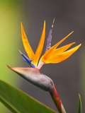 Bird-of-Paradise Flower on Maui Photographic Print by Ron Dahlquist