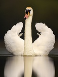 Adult Mute Swan in Threat Posture Photographic Print by Andrew Parkinson