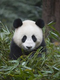Giant panda cub in forest Photographic Print by Keren Su