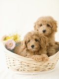 Dogs in basket Photographic Print