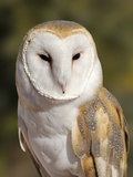 Barn Owl (Tyto alba) at the Sonoran Desert Museum, Tucson, Arizona, USA Photographic Print by Tim Zurowski