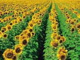 Sunflower Field Near Oakbank, Manitoba, Canada Photographic Print by Dave Reede