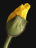 Corn poppy bud, close-up Photographic Print by Claudia Rehm