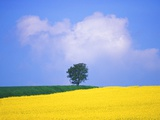 Canola Crop with Lone Tree, Blue Sky and Cumulus Clouds in South of France Photographic Print by Chris Cheadle