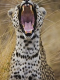 Male leopard yawning Photographic Print by Jami Tarris