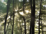 Sunbeams shining through beech forest Photographic Print by Frank Krahmer