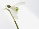 Snowdrops (Galanthus nivalis), close-up Photographic Print