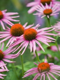 Purple coneflower Photographic Print by Clive Nichols