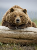 Grizzly Bear Leaning on Log at Hallo Bay Photographic Print by Paul Souders