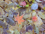 Leaves on ground covered in frost Photographic Print
