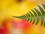 Fern leaf in fall Photographic Print by Craig Tuttle