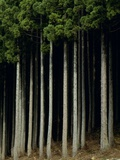 Japanese cedar forest, Akita Prefecture, Japan Photographic Print by Aso Fujita