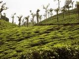 Trees in a tea garden, Mysore Fotografie-Druck