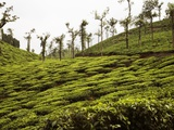 Trees in a tea garden, Mysore Photographic Print
