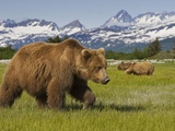 Grizzly Bears at Hallo Bay in Katmai National Park Photographic Print by Paul Souders