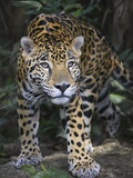 Jaguar in forest in Belize Papier Photo par Keren Su
