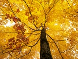 A Sugar Maple (Acer Saccharum) in Fall Colours, Mississagi Provincial Park, Ontario, Canada Photographic Print by Ethan Meleg