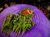 Anemonefish and large anemone Fotografie-Druck von Stephen Frink
