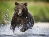 Brown Bear Fishing for Spawning Salmon at Geographic Harbor Photographic Print by Paul Souders