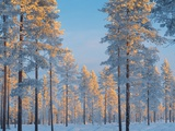 Snow-covered forest Photographic Print by Bruno Ehrs