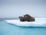 Group of Walrus on ice Photographic Print by Paul Souders