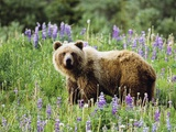 Grizzly Bear, Northern British Columbia, Canada. Photographic Print by John E Marriott