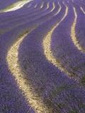 Doug Pearson - Lavender field Fotografická reprodukce