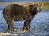 Brown Bear in Stream at Kukak Bay in Katmai National Park Photographic Print by Paul Souders