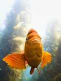 Garibaldi Fish Photographic Print by Ralph Clevenger