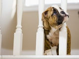 Bulldog puppy with head between balusters Photographic Print by Jim Craigmyle