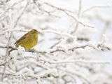 Adult Female Yellowhammer Perched on Frost Covered Branches Photographic Print by Andrew Parkinson