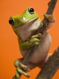 Close up of tree frog Photographic Print
