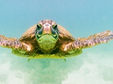 Green Sea Turtle Photographie par Mark A. Johnson