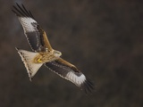 Red kite in flight Photographic Print by Andrew Parkinson