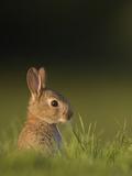 Baby Rabbit in grass Photographie par Andrew Parkinson