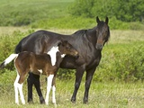 Horses (Equus Caballus) Female with Paint Foal, Ranch, Southwest Alberta, Canada. Photographic Print by Bob Gurr