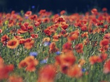 Common poppies and cornflowers Photographic Print by Frank Krahmer
